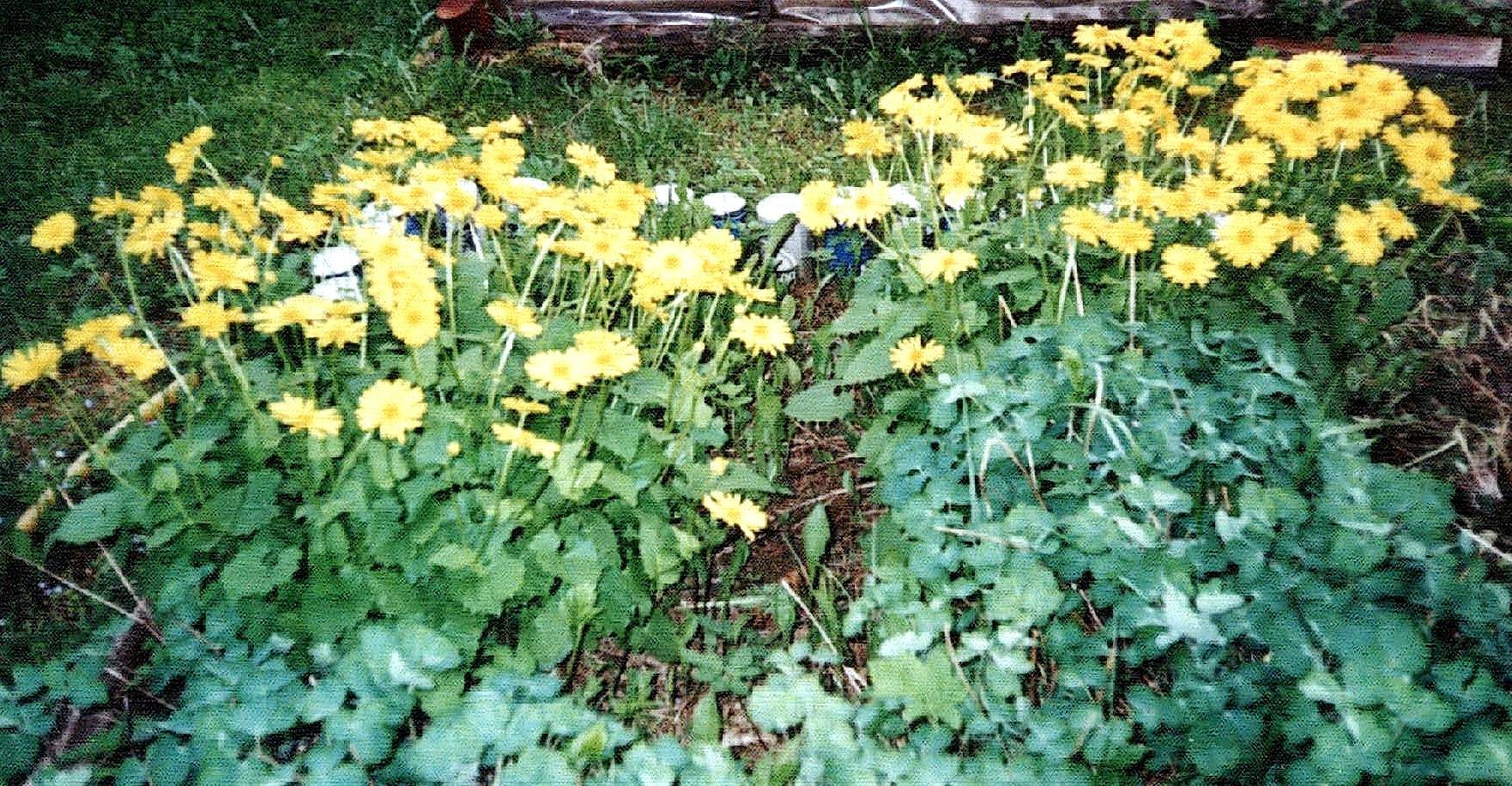Редис цветок фото